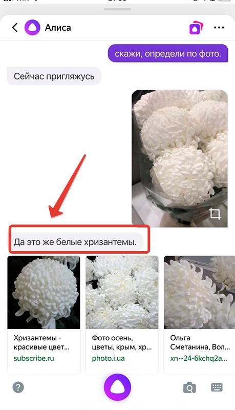 Алиса хризантемы по фото